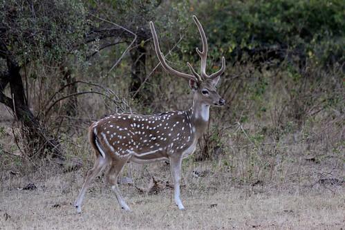 Low 2009-11-29 Sasan Gir - 01 Safari 21