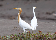 Cattle Egret on Akshi Beach (john164694) Tags: india birds maharashtra egret konkancoast akshibeach