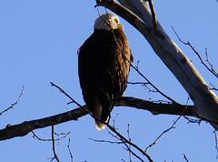 Bald eagle 2 2009