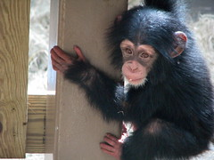 Baby Chimpanzee George - Knoxville Zoo