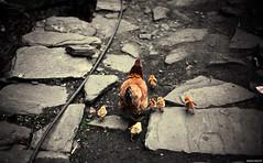 Slight Figure Of Speech (Stephan Geyer) Tags: street family nepal cold cute chicken canon 50mm dof sad bokeh path stones chick 5d chicks kathmandu canon5d vignette nepali 5014 ef50mmf14usm canoneos5d chickenfamily canon5dclassic