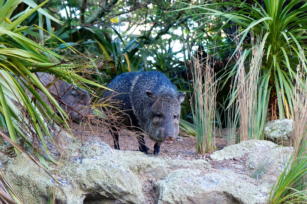 One of Wellington Zoo's Peccaries