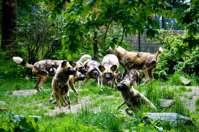 African wild dogs, Bronx Zoo