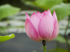 lotus (ddsnet) Tags: lotus sony cybershot aquaticplants       cybershor  plants  aquatic hx100v