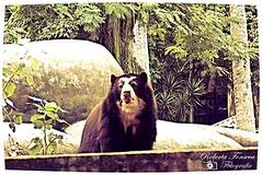 #animais #animals #urso #bear #zoologicorj #zoorj (Betanandez) Tags: animals bear urso animais zoologicorj zoorj