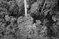 Sandakan Rainforest Discovery Centre, Borneo, Malaysia (bm^) Tags: travel sandakan sabah maleisië rainforest discovery centre tree canopy walk top boom bomen trees forest rainforst oerwoud l park distagont228 distagon282zf nikon d700 bw blackandwhite black white blackwhitephotos zf2 zeiss carl nikond700 zwart wit zwartwit reis carlzeiss my viewdown aerial perspective