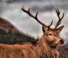 DSC_0178awm (Polleepops) Tags: scotland fortwilliam water lochlomond glenetive deer wildlife waterfall glenfinnan