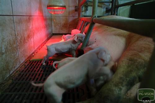 Ferkel in der Schweinezucht