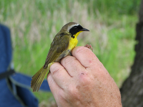 Common Yellowthroat in the hand