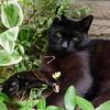 Meet my frontyard cat (Cajaflez) Tags: pet black cute cat kat chat gato katze zwart gatto kater vos cc200 cc100 kissablekat bestofcats velvetpaws catmoments vosplusbellesphotos catnipaddicts saariysqualitypictures plusbellesphotos boc0809 newgoldenseal