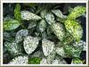 Dracaena surculosa 'Florida Beauty' (Spotted Dracaena, Gold Dust Dracaena, Gold Dust Plant)