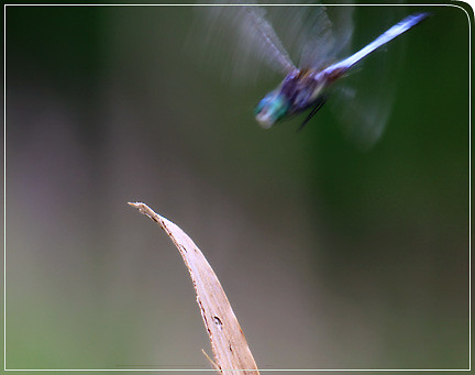 dragonfly_cominginforlanding02