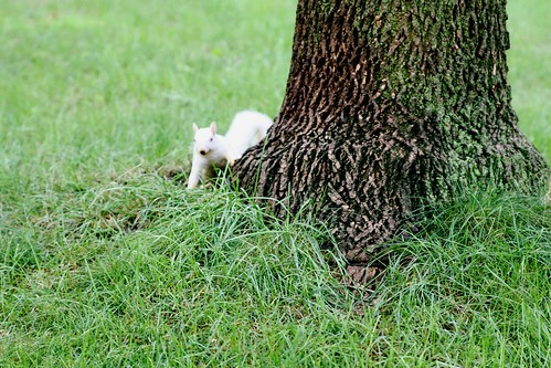 albino squirrel in our neighborhood