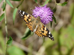 PAINTED LADY (stephen.lewins (1,000 000 UP !)) Tags: butterfly northumberland paintedlady