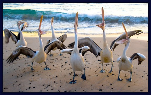 Pelicans-1