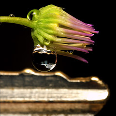 ~ Tiny Bloom Key Ingredient ~ (ViaMoi) Tags: ontario canada flower macro green nature water closeup photography photo drops aperture key purple vibrant ottawa refraction bloom tutorial naturalist naturesfinest imagist ottawacanada 40d canon40d naturewatcher viamoi