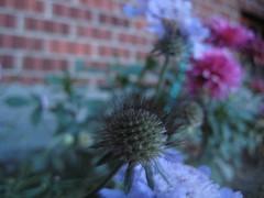 IMG_1462.JPG (crankyisgood) Tags: flowers garden latesummer