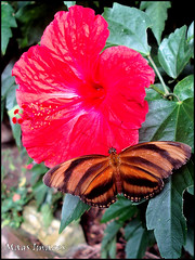 Butterfly on Red (mags images) Tags: red butterfly hibiscus dobbies butterflieselegance midlothianbutterflyfarm