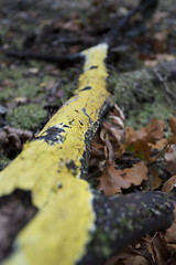 Sulphur colored fungus (maasha) Tags: canon denmark fungi zealand 2009 allerød svampetur eos30d