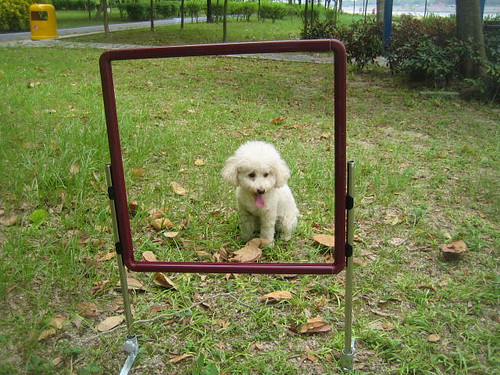 poodle jump over