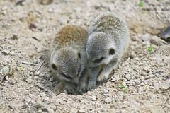 Baby Meerkats digging (tiny_packages) Tags: uk baby london zoo meerkat babies digging young