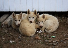 Greenland husky puppies! (christine zenino) Tags: puppy europe arctic greenland inuit 1000views grnland dogsled grnland greenlandic huskys groenland groenlandia 1000plusviews angmassalik tasiilaq grnland huskypuppies ammasalik  tasiilaqgreenlandtravelguide greenlandtravelguide villageoftasiilaq greenlandichuskypuppy inuitvillage