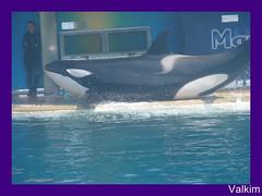 DSC08302_GF_GF (valkim) Tags: killer whale orca marineland orque