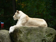 Ouwehands dierpark - White lioness - 20090929 - 28 (Robbert Michel) Tags: september 2009 rhenen ouwehands