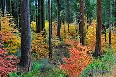 Rainbow Forest - Yosemite California (Darvin Atkeson) Tags: california usa fall pine america forest landscape us fallcolor sierra yosemite redwoods yosemitenationalpark dogwood sierranevada johnmuir darvin   atkeson  darv   liquidmoonlightcom