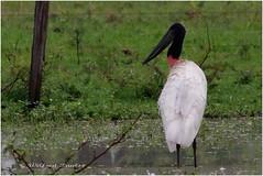 TUIUI / JABIRU STORK (Rio Miranda - Pantanal) (Wilfred Paulse) Tags: brazil brasil wetlands pantanal floraandfauna matogrossodosul riomiranda wilfredpaulse