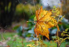 (Zwieselchen) Tags: autumn fall yellow leaf herbst relief gelb suspended blatt organge hngend herbstalub