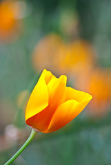 Pavot de Californie, Eschscholzia californica, Paris, France 2009 (Baloulumix) Tags: california paris france macro art nature fleur jaune plante french photography photo julien jardin zen poppy poppies  eschscholzia    californie californica pavot               jardinzen   jardinplante baloulumix  wonderfulworldofflowers     fourniol fournioljulien julienfourniol