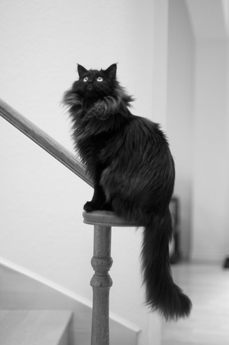 black maine coon cat pictures Photo