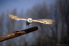 Take A Leap (Megan Lorenz) Tags: ontario canada motion bird nature outdoors flying wings looking action wildlife watching flight owl predator staring wingspan alert avian barnowl birdofprey simcoe wildanimals blurredbackground controlledconditions mywinners abigfave canadianraptorconservancy platinumphoto controlledsituation meganlorenz vosplusbellesphotos thewonderfulworldofbirds mlorenzphotography