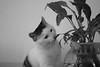 Studying (chaojiwolf) Tags: cute cat kitten watermelon xigua