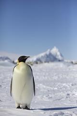 IMG_3735 (ianduffy) Tags: antarctica emperorpenguin snowhillisland quarkexpeditions snowhillislandemperorpenguinsafari