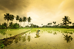 As you sow so shall you reap... (Light and Life -Murali ) Tags: travel reflection warm wide salem 1020mm tamilnadu 10mm sigma10mm transplantation kandasamypudur farmwe img3684p2sc somampatti