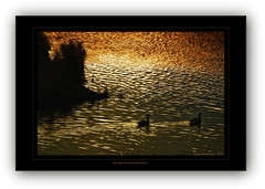 Les dernires outardes 2 (meehanf) Tags: reflection water morninglight geese ripple copper outardes