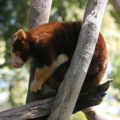 Adelaide Zoo - Tree Kangaroo (Heaven`s Gate (John)) Tags: travel tree nature animal zoo australia kangaroo adelaide marsupial treekangaroo adelaidezoo johndalkin heavensgatejohn