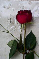 (Heart) Broken (GuValGo) Tags: flower rose rosa corazon roto heartbroken corazonroto
