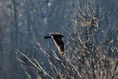 Northern harrier hunting (dcstep) Tags: morning urban usa nature canon colorado hunting urbannature 7d northernharrier cherrycreekstatepark ef400f56l canon7d 12192009