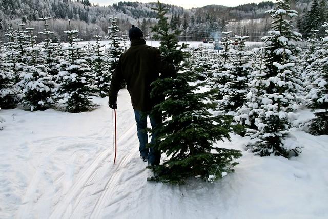 Innlevering av juletrær