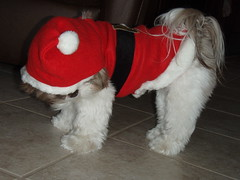 Santa Baby...Merry Christmas one and all! (gix2lee) Tags: dog shih tzu shihtzu chloe cutedog chrysanthemum santababy liondog santasuit brownandwhite brownandwhitedog liverandwhite shihtzudog brownandwhiteshihtzu chrysanthemumdog chloepatralee chloepatraleelapetitchocolat liverandwhiteshihtzu santashihtzu shysanta liverandwhiteshihtzubrownandwhiteshihtzu liverandwhitedog