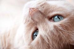 (___Andrea F.) Tags: blue cats eye cat eyes blu blueeyes occhi azzurro gatto occhio gatti lightblue occhiazzurri