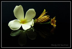 White and Yellow on Black (uvaisjm - Al Seylani Photography) Tags: flowers reflection closeup composition flora plumeria gazania araliya frangipan tabletopphotography widelia