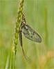 Mayfly (Chris Beard - Images) Tags: mayfly