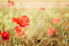 Gracefulness in the wind ♥3 (dhmig) Tags: flowers italy sun flower nature 50mm nikon bokeh outdoor meadow poppy poppies novara gracefulness poppiesfield nikond7000