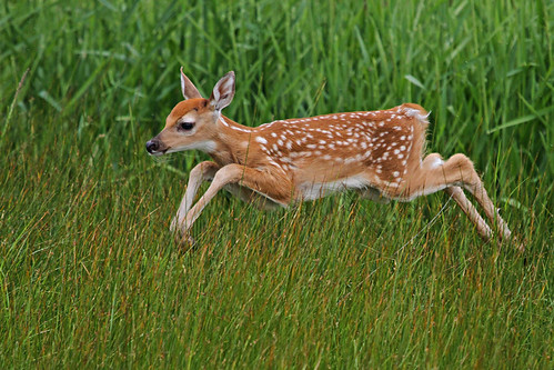 Airborne Fawn