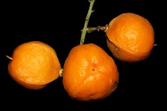 Toechima daemelianum (andreas lambrianides) Tags: toechimadaemelianum sapindaceae cupaniadaemeliana australianflora australiannativeplants australianrainforests australianrainforestplants australianrainforestfruits arffs orangearffs arfp cyrfp qrfp dryarf galleryarf