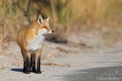 Red Fox (Mitch Vanbeekum Photography) Tags: redfox islandbeachstatepark nj newjersey wildlife wild fox red mitchvanbeekum mitchvanbeekumcom canoneos1dx canonef500mmf4lisiiusm canon14teleconvertermkiii vulpesvulpes